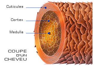 Structure des cheveux, on observe la couche centrale, la médula recouverte du cortex, lui même gainé par la cuticule. La cuticule est constituée d'écailles enchevêtrées les unes dans les autres.