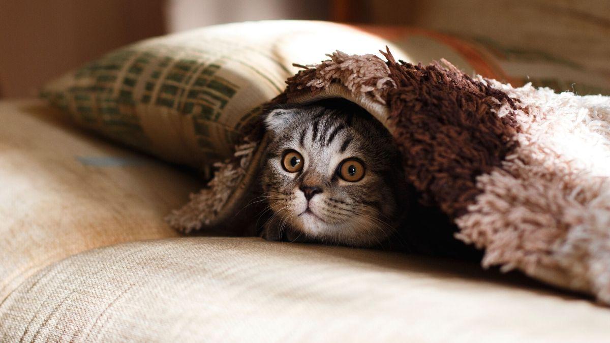 chat sous couverture