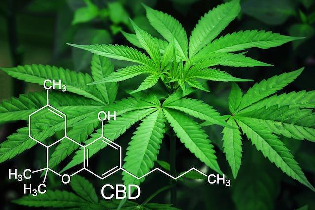 Cannabis thérapeutique : la France emboîte le pas