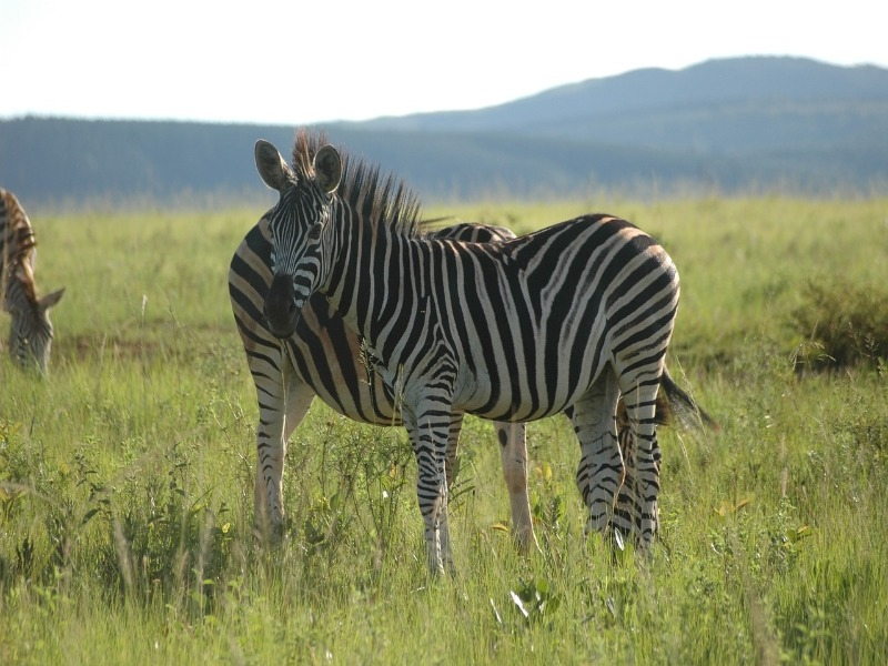 Faire la rencontre des zèbres ? C'est possible au eSwatini (Swaziland)