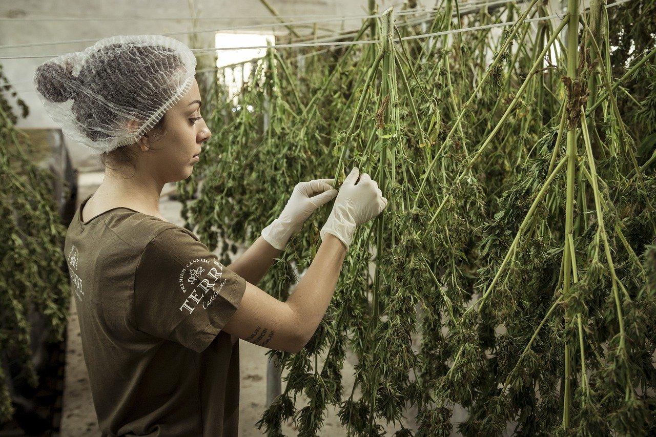 Avantages pour la santé des graines de cannabis