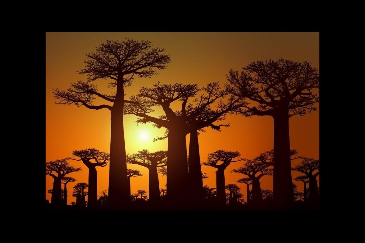 Les Baobab de la République malgache