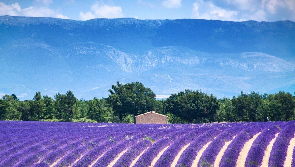 Vacances d'été - Un champ de lavande en Provence