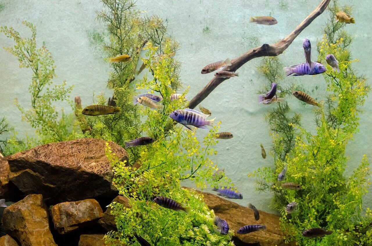 débarrasser des algues dans un aquarium