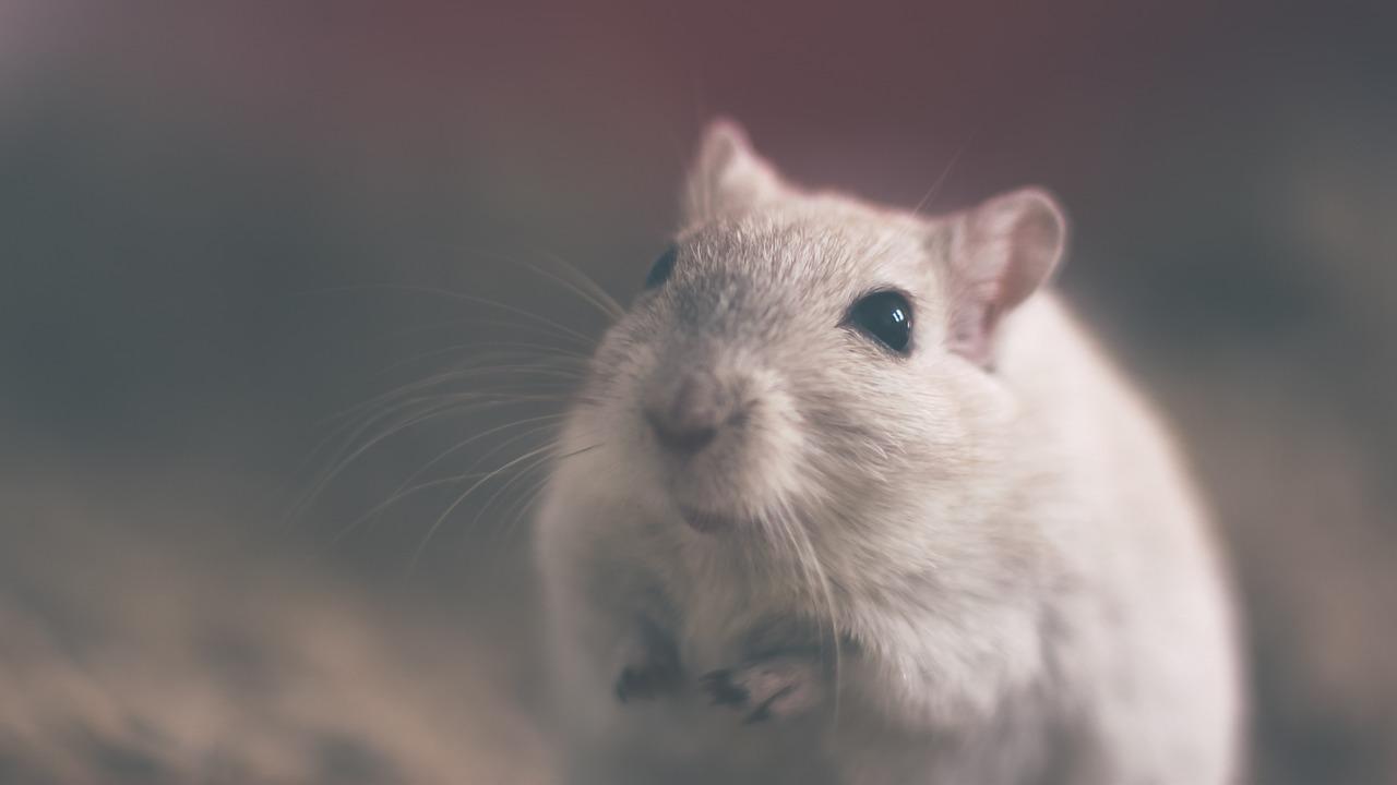 se débarrasser des souris